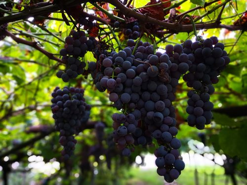 wine  grapes  vine
