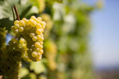 wine  grape  vine