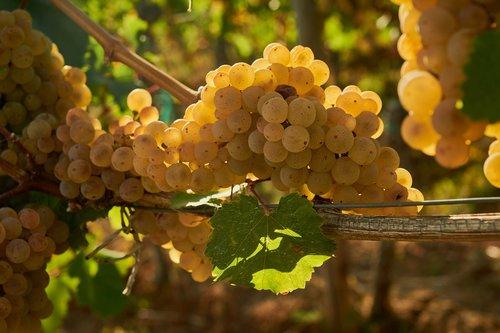 wine  grapes  vine