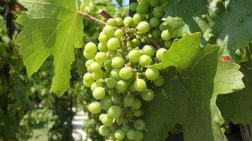 wine  grapevine  viticulture