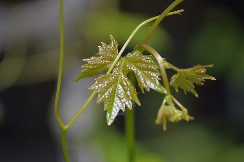 wine  leaves  leaf