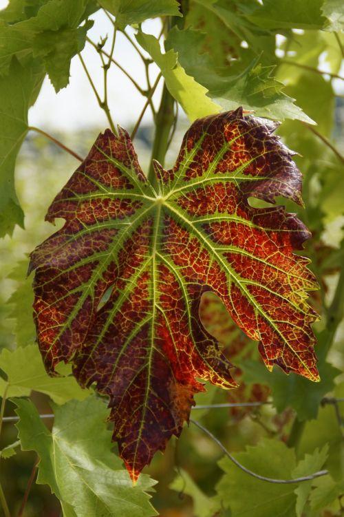 wine wine leaf discolored