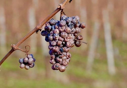 wine  grapes  grapevine