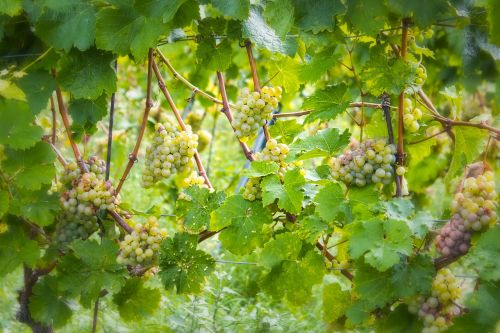 wine grapes green