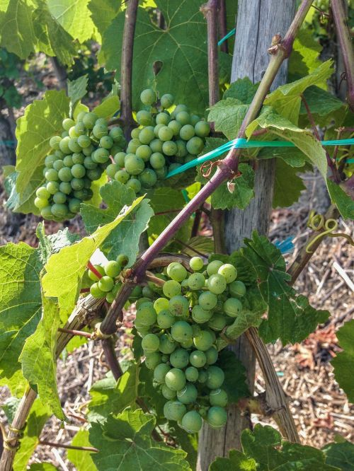 wine,grapes,vine,cultivation,winegrowing,plant,vineyard,green grapes,summer,rebstock,nature,vines,vines stock,landscape,germany,vineyards,wine leaf,white wine,riesling,boppard hamm,middle rhine,sachsen,close,free photos,free images,royalty free