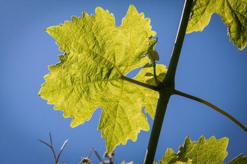 wine leaf vine