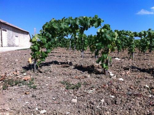 wine vines viticulture