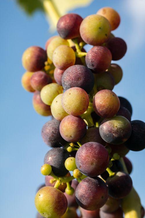 wine grapes immature