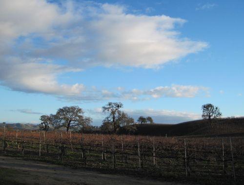 wine country vineyard oak trees