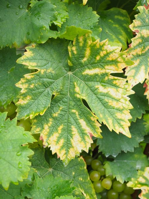 wine grape leaf leaf grapes