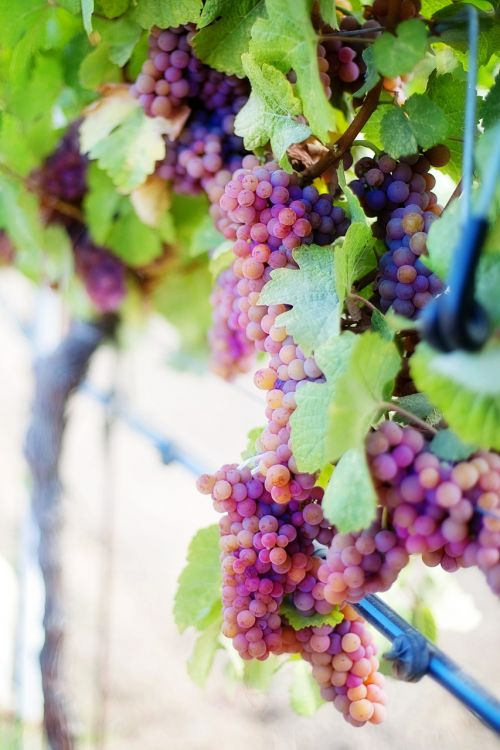 wine grapes purple grapes grapes