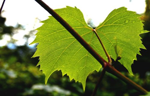 wine leaf ranke plant