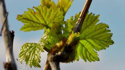 wine leaf wine vine