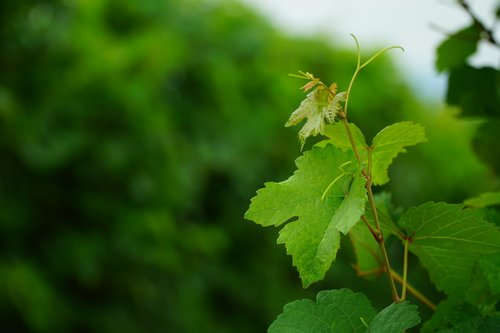 wine leaf  vines  vine