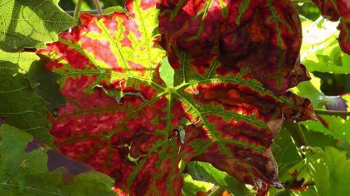 wine leaf plant wine