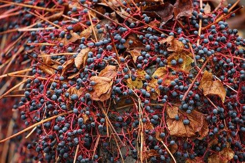 wine partner  parthenocissus quinquefolia  vine