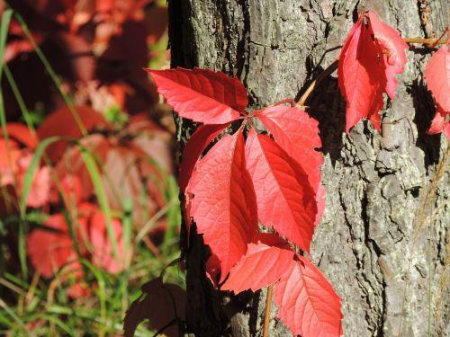 wine partner parthenocissus quinquefolia red