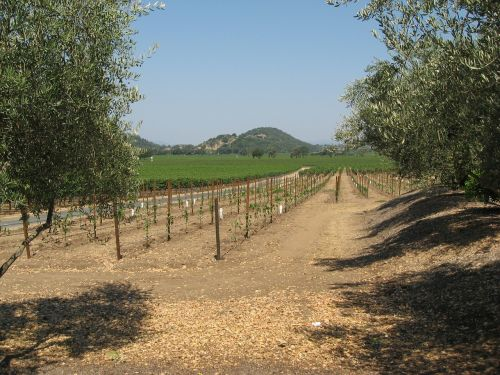 winegrowing napa vine yard