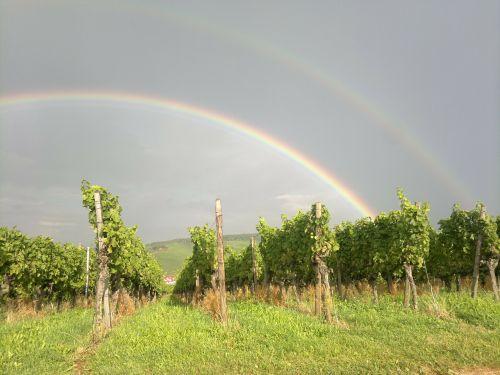 winegrowing vineyard vines