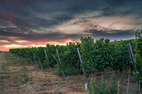 winegrowing  vineyard  sunset