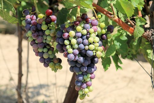 winegrowing  vine  grapes