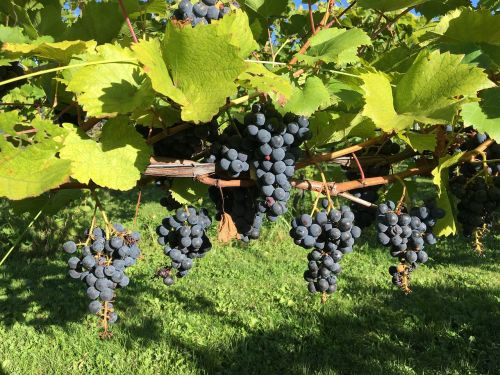 winery vineyard red grapes