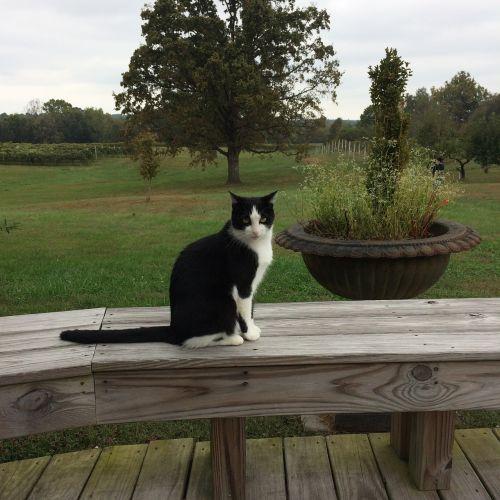 winery kentucky cat