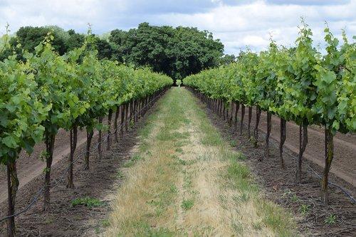 winery  vineyard  vine