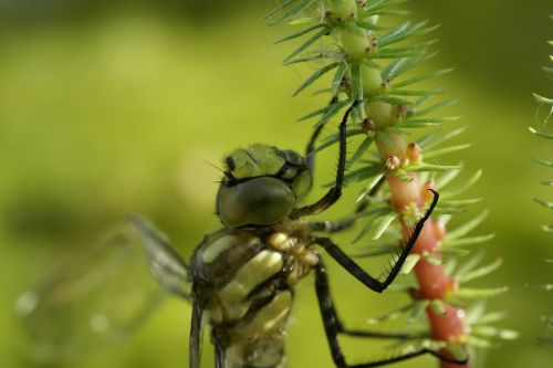winged insects dragonfly baby
