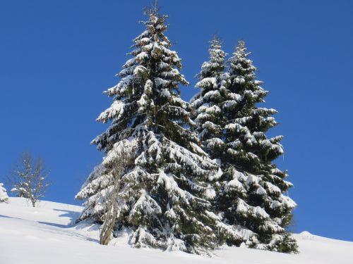winter fir snow