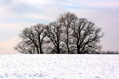 winter trees grove of trees