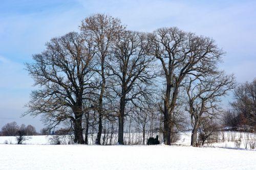 winter snow grove of trees