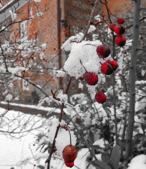 winter winter magic berry red