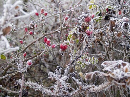 winter wild rose hard rime