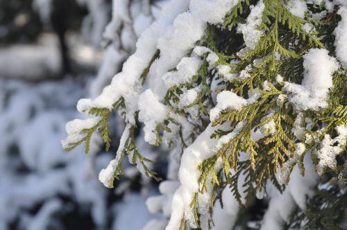 winter snow branch