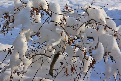 winter snow shrubs
