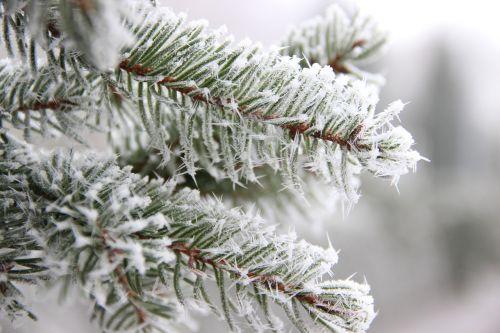 winter tannenzweig branch