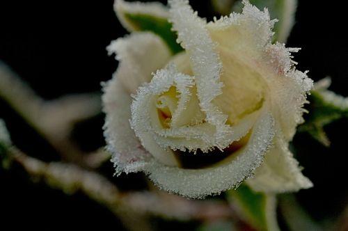 winter rose ripe