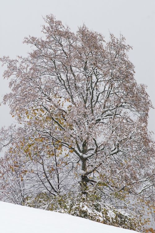 winter tree deciduous tree