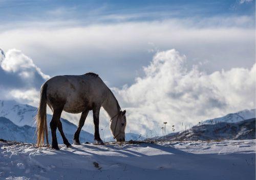 winter azerbaijan horse