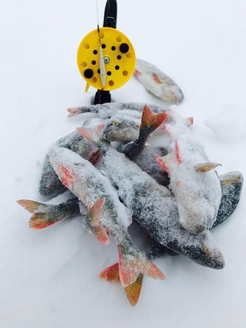 winter fish perch
