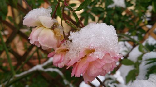 winter rose snow