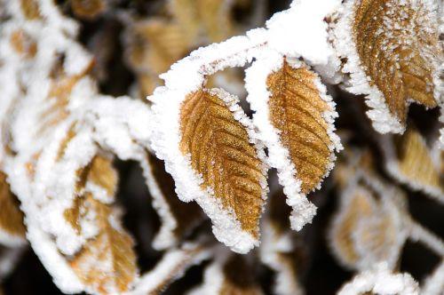 winter jelly leaf