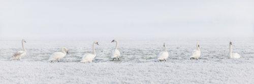winter swans swan