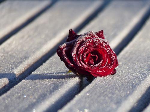winter rose flower