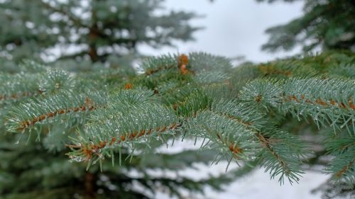 winter pine tree