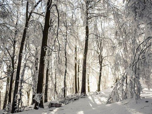 winter  trees  sunrays