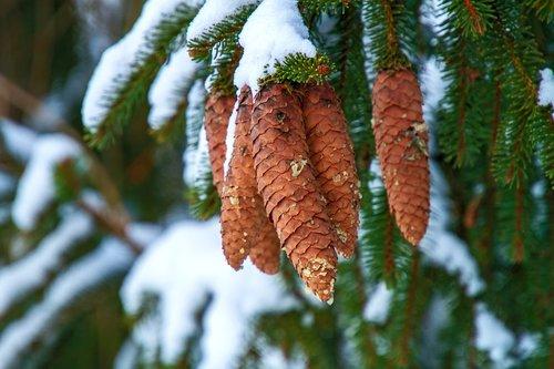 winter  pine cones  tree