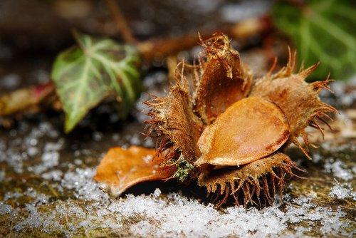 winter  snow  ivy