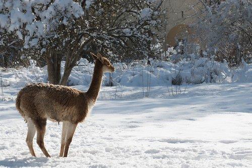 winter  roe deer  animal